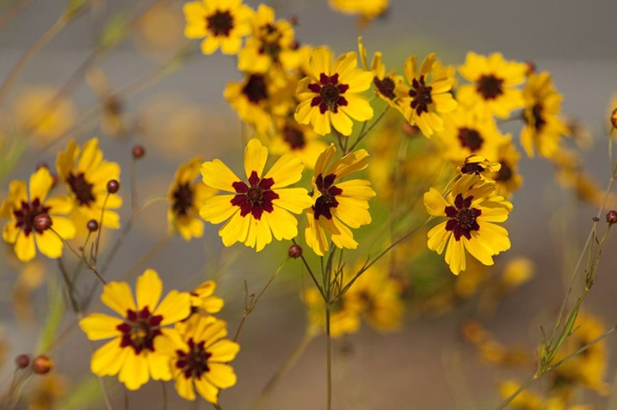 Sweetwater-Yellow-Flowers