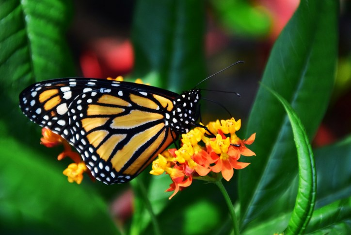 Austin is one of the best places to enjoy the spectacle of the fall migration of millions of beautiful monarch butterflies.