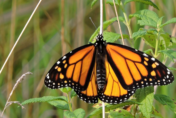 SW-Monarch-Butterfly-Migration-Blog.png